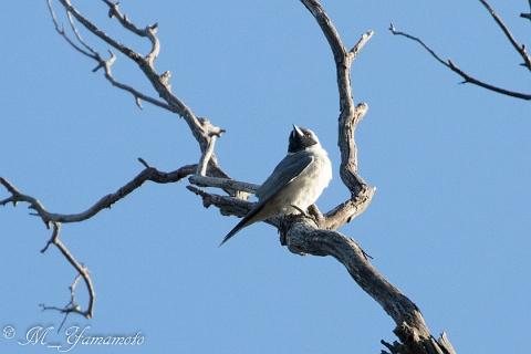 Masked Woodswallow (1)