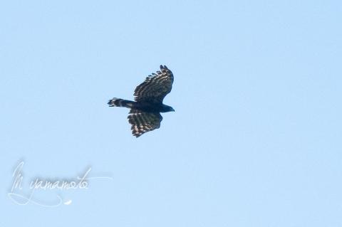 Black Hawk-Eagle (1)