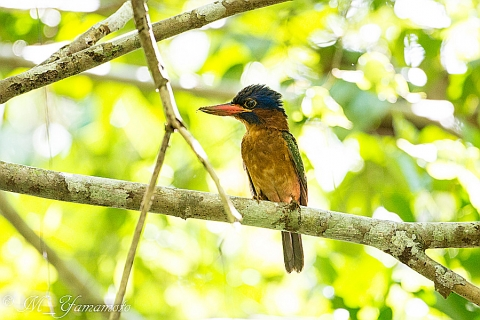 Blue-capped Wood-kingfisher