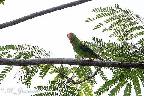 Philippine hanging parrot