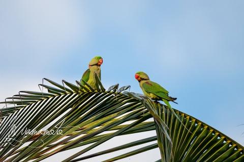 1_sAlexandrine-Parakeet-2
