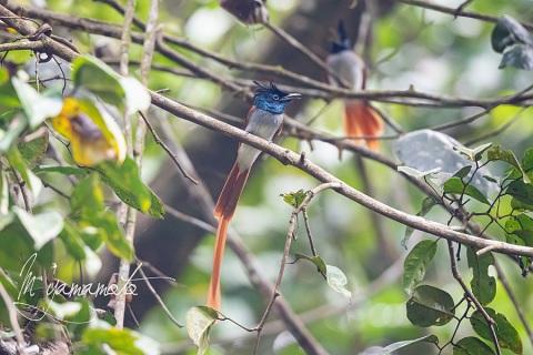 1_sIndian-Paradise-Flycatche-1