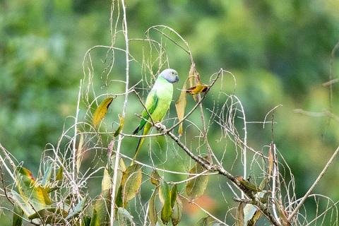 1_sLayards-Parakeet-1