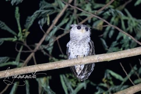 1_sSpot-bellied-Eagle-Owl-2