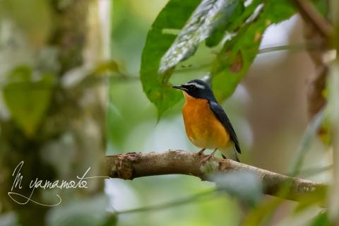 Indian-Robin-1