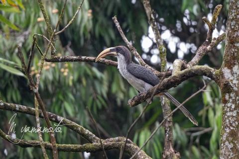 Sri-Lanka-Gray-Hornbill