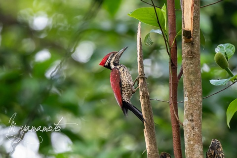 s-red-backed-flameback-6