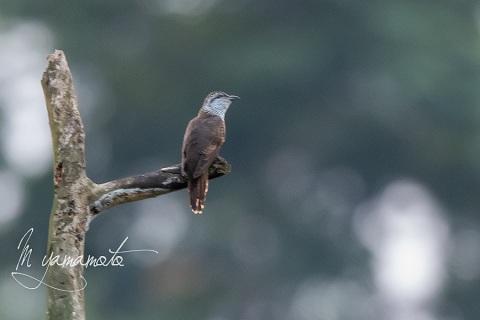 sBanded-Bay-Cuckoo-1