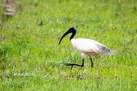 sBlack-headed-Ibis
