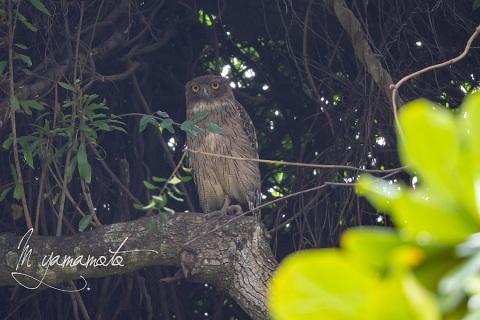 sBrown-Fish-Owl-3