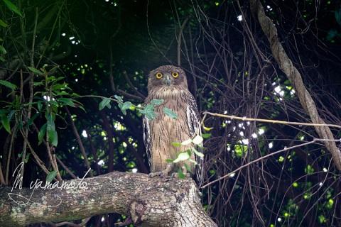 sBrown-Fish-Owl-7