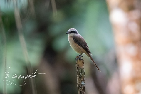 sBrown-Shrike