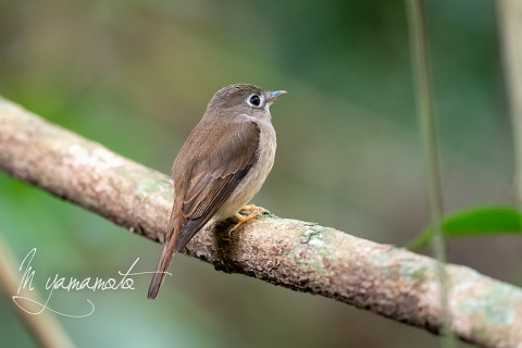 sBrown-breasted-Flycatcher-1