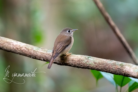 sBrown-breasted-Flycatcher-2