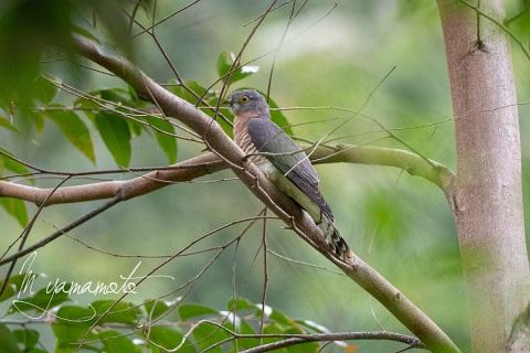 sCommon-Hawk-Cuckoo-6
