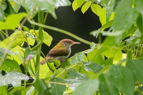 sCommon-Tailorbird