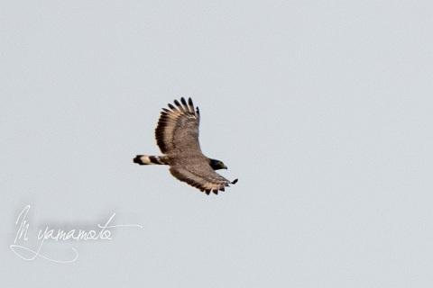sCrested-Serpent-Eagle-2