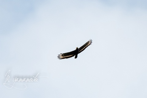 sCrested-Serpent-Eagle-3