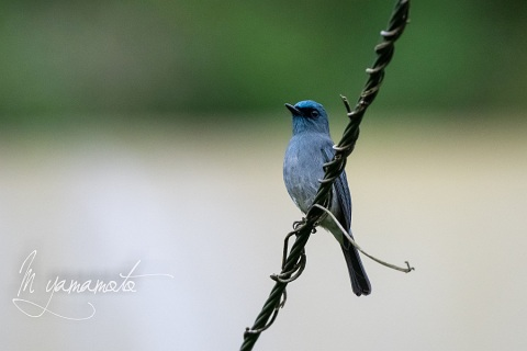 sDull-blue-Flycatcher-2