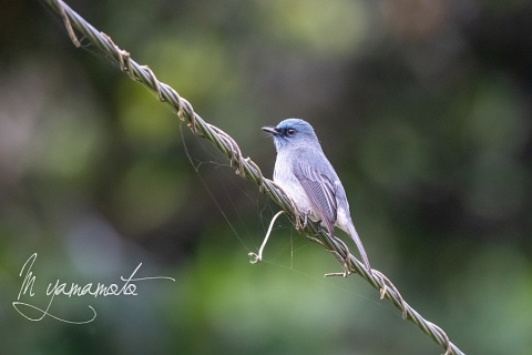 sDull-blue-Flycatcher-3