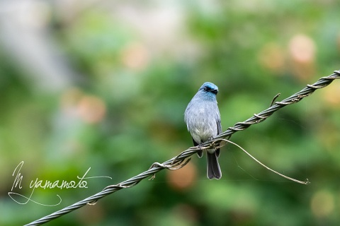 sDull-blue-Flycatcher-5