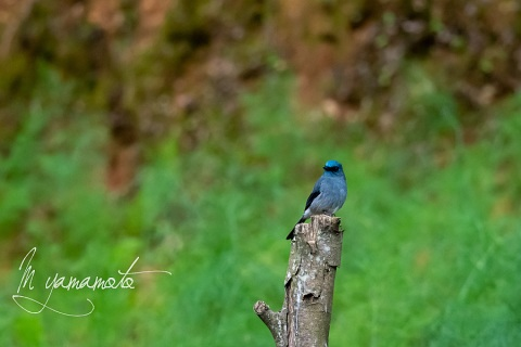 sDull-blue-Flycatcher-7