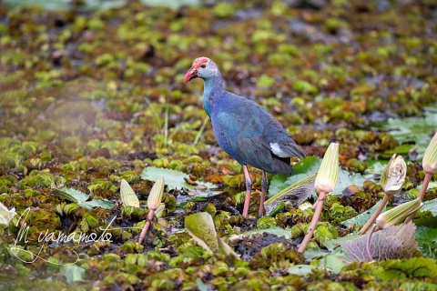 sGray-headed-Swamphen-1