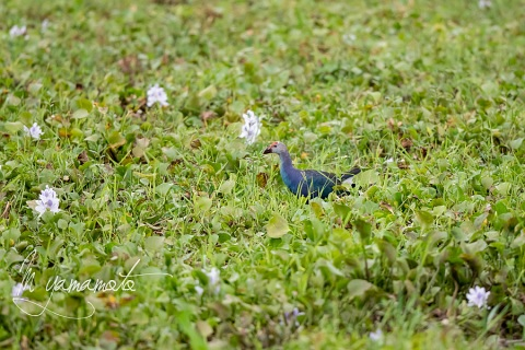sGray-headed-Swamphen-4
