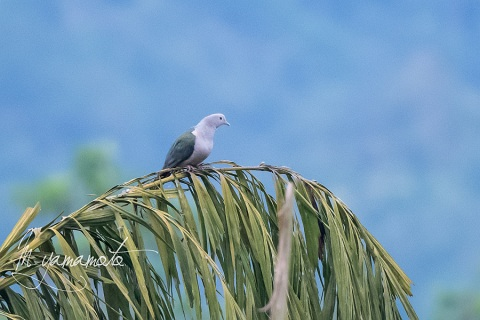 sGreen-Imperial-Pigeon