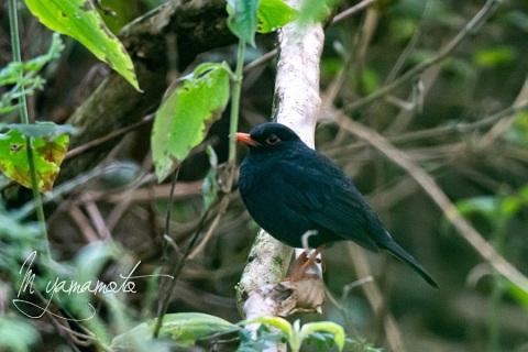 sIndian-Blackbird-2