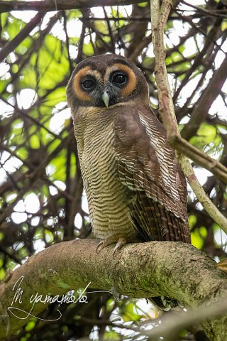 sLBrown-Wood-Owl-5
