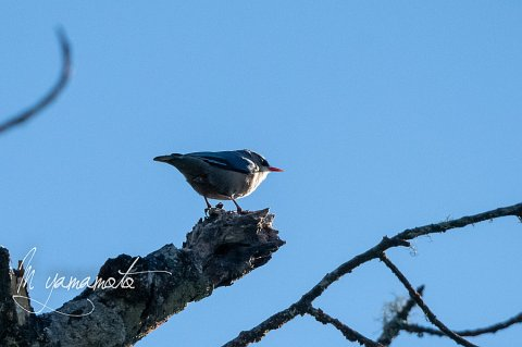sLVelvet-fronted-Nuthatch-2