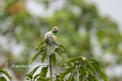 sLayards-Parakeet-1