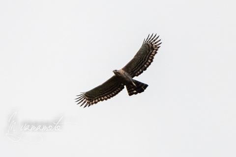 sLegges-Hawk-Eagle-2