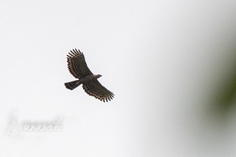 sLegges-Hawk-Eagle-3