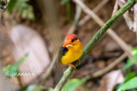 sOrieantal-Dwarf-Kingfisher-1
