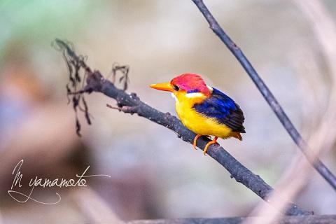sOrieantal-Dwarf-Kingfisher-2