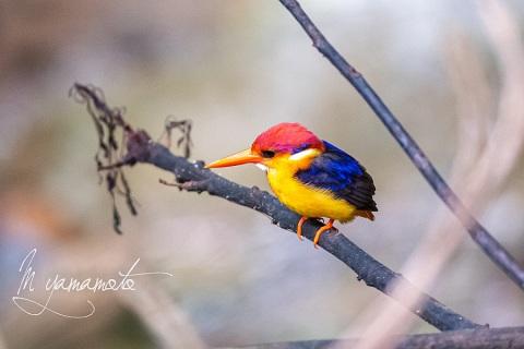 sOrieantal-Dwarf-Kingfisher