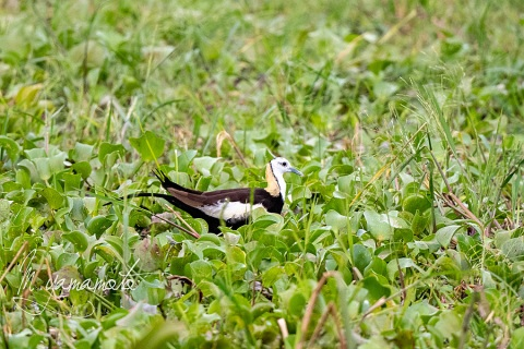 sPheasant-tailed-Jacana-1