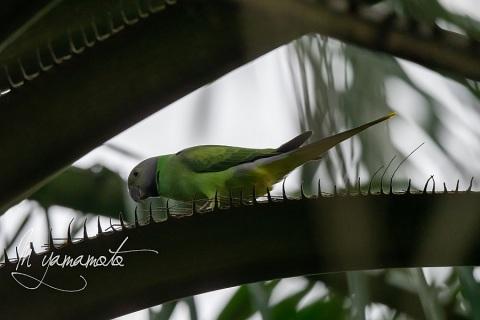 sPlum-headed-Parakeet-4