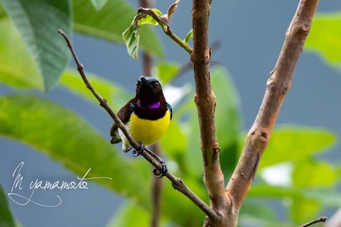sPurple-rumped-Sunbird-4