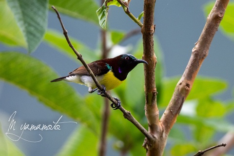 sPurple-rumped-Sunbird-7