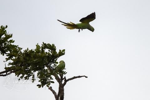 sRose-ringed-Parakeet-1
