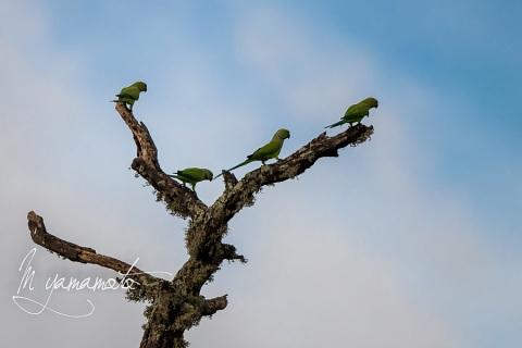 sRose-ringed-Parakeet-2
