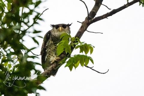 sSpot-bellied-Eagle-Owl-2