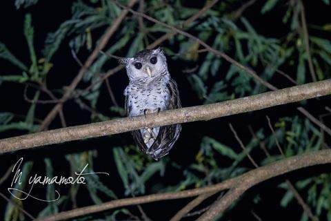 sSpot-bellied-Eagle-Owl-3
