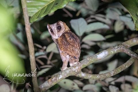 sSri-Lanka-Bay-Owl-2