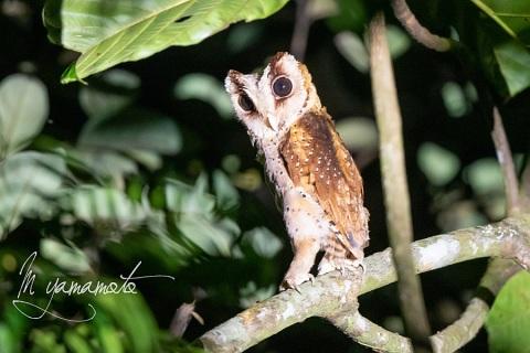 sSri-Lanka-Bay-Owl-4