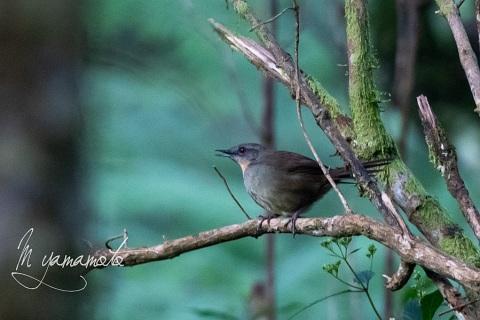 sSri-Lanka-Bush-Warbler-3