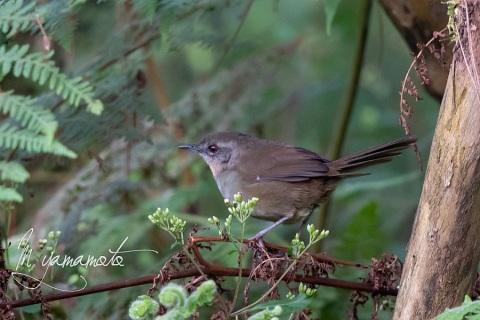 sSri-Lanka-Bush-Warbler-6
